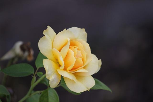 rose-3593112_1920